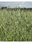 Forage Plus Oats