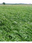 Annual Forage Ryegrass