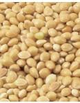 White Proso Millet