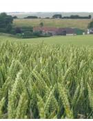Barley, Nomini