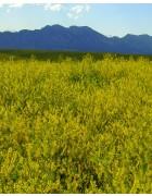 Yellow Blossom Sweet