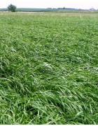 Perennial Forage Ryegrass