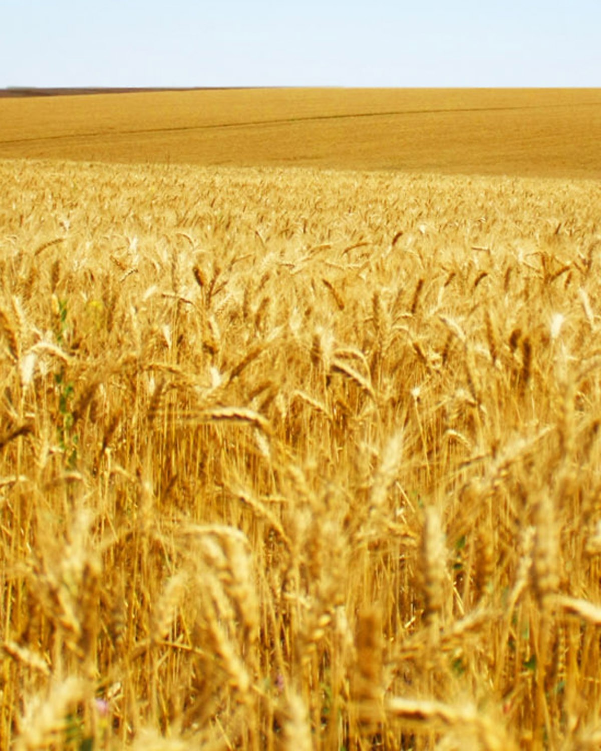Soft Red Winter Wheat, SW 52 | F.M. Brown's