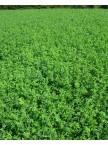 Alfalfa, Hybriforce 2400 & 2420 Wet