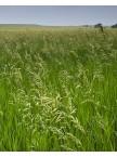 Bromegrass, Smooth