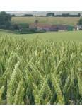 Barley, Thorobred