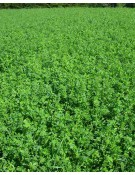 Alfalfa, Hybriforce 2400 & 2420 Wet