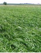 Annual Forage Ryegrass