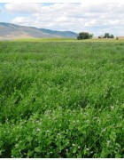 Alfalfa and Clover Inoculant