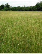 Savory Tall Fescue