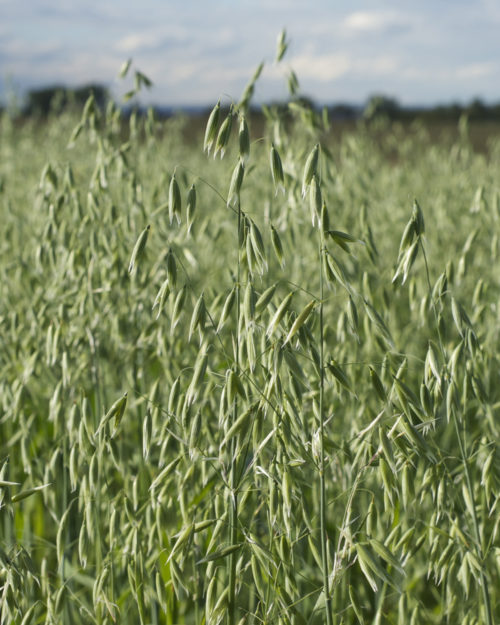 Forage Plus Oats-0