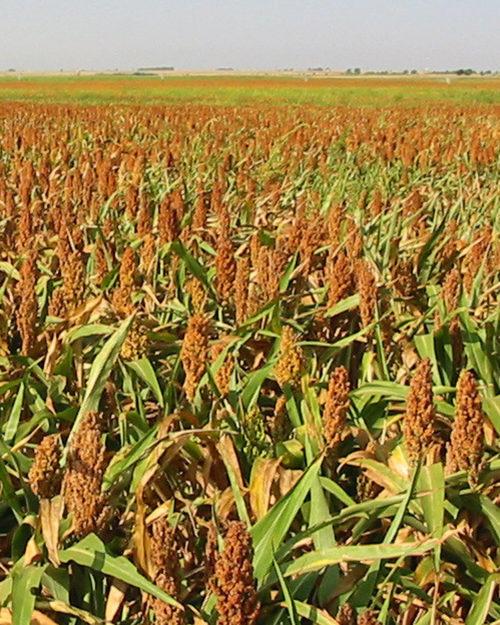 Grain Sorghum-0