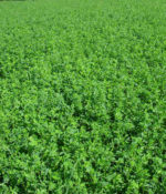 Alfalfa, WL 352 LH/RR-0