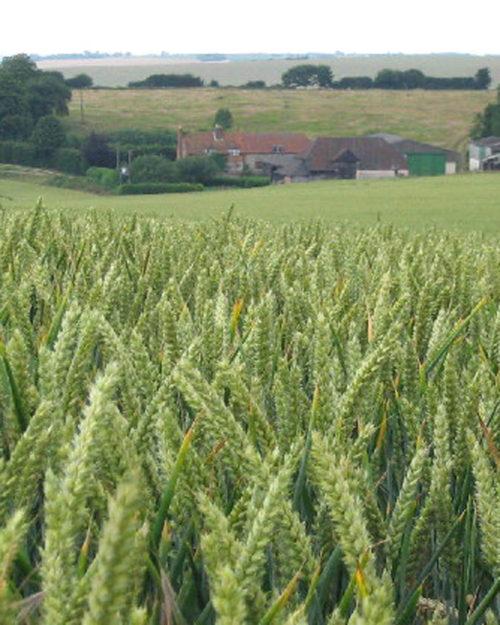 Barley, SB 151-0