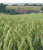 Barley, Thorobred-0