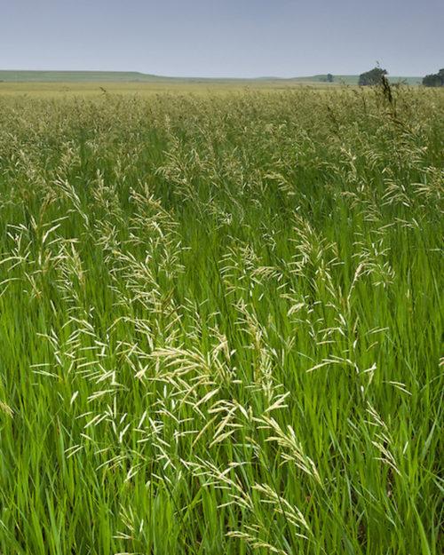 Bromegrass, Smooth-0