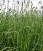 Orchardgrass, Amba-0