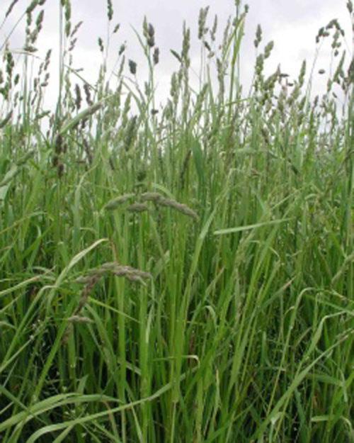 Orchardgrass, Niva-0