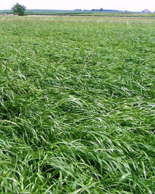 Perennial Forage Ryegrass-0