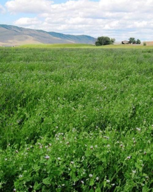 Alfalfa and Clover Inoculant-0
